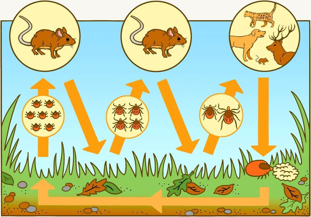 Lebenszyklus von Zecken