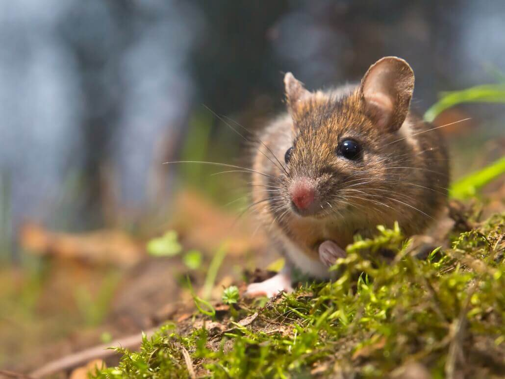 Maus (Apodemus sylvaticus)
