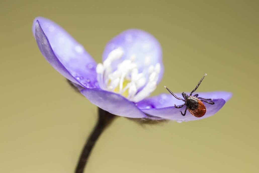 Zecke auf einer Blume