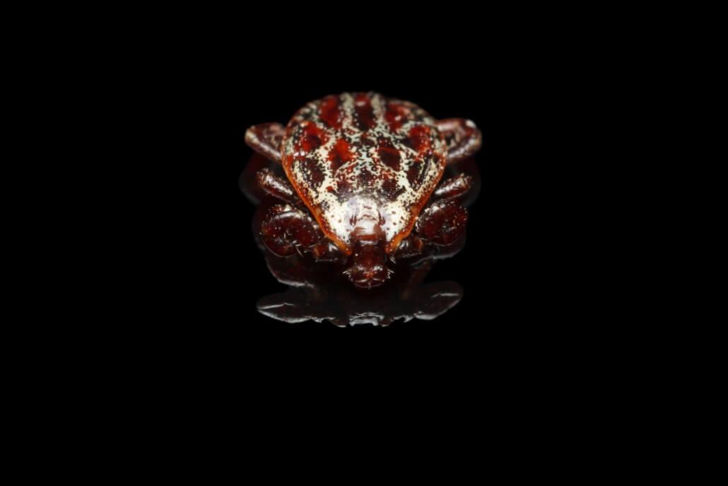 Zeckenart Dermacentor reticulatus